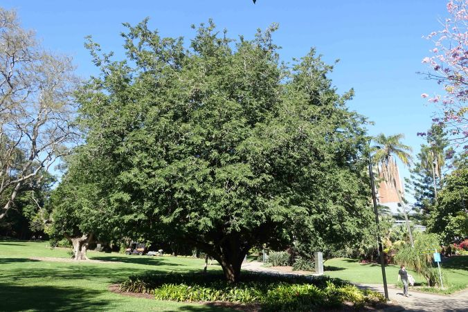 Tamarind tree Brisbane Botanical gardens