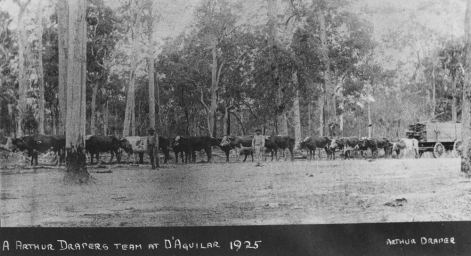 One of Arthur Drapers bullock teams at Woodford 1925
