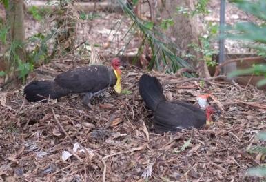 scrub turkeys hughgate hill